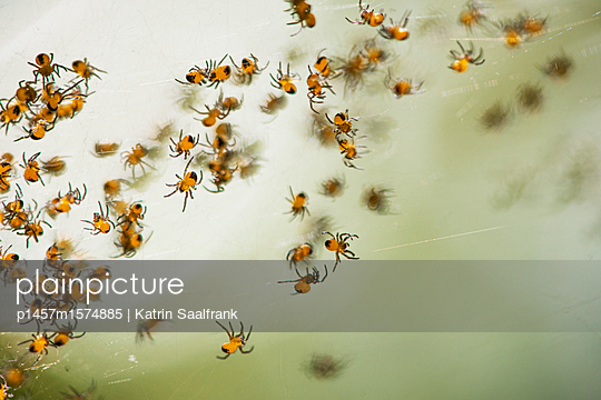 Spinnenbabys - p1457m1574885 von Katrin Saalfrank