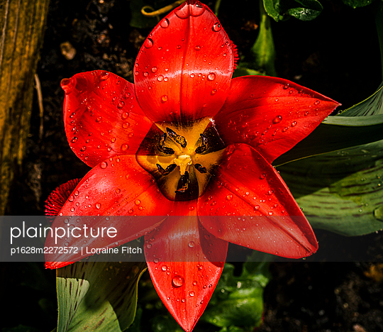 Red tulip with water droplets  - p1628m2272572 by Lorraine Fitch