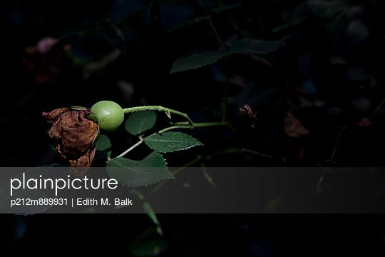 Verblühte Rose - p212m889931 von Edith M. Balk