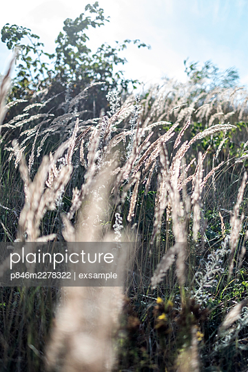 Grasses in the wind - p846m2278322 by exsample