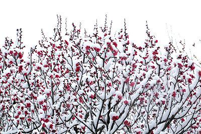 Plum blossoms - p307m1012018f by Tetsuya Tanooka
