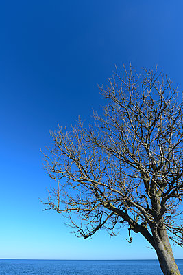 Bare tree on the island of Fehmarn - p427m2260451 by Ralf Mohr