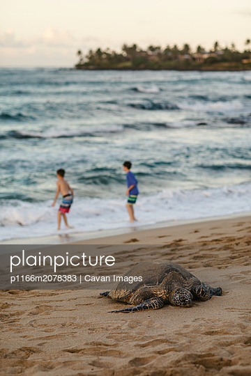 Sea Turtle rests on Maui beach while young boys play in ocean - p1166m2078383 by Cavan Images