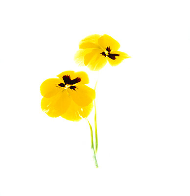 Pansies against white background - p1190m2288988 by Sarah Eick