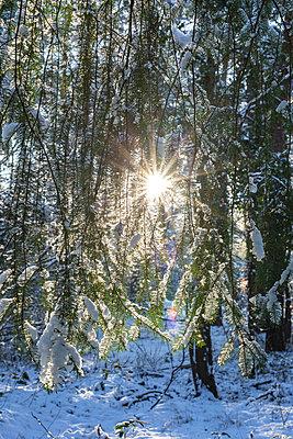 Germany, Brandenburg, Forest in winter at sunrise - p300m2250309 by Anke Scheibe