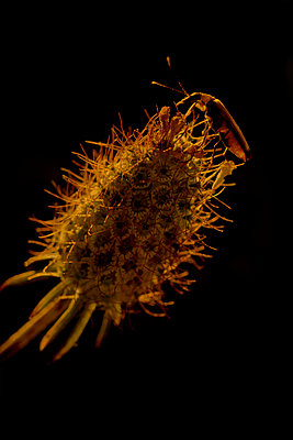 Beetle on a Caprifoliaceae (Scabiosa genus), Luberon, Provence, France - p1028m2204652 von Jean Marmeisse