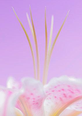 Staubgefäße einer lila Blume, Nahaufnahme - p1280m2167905 von Dave Wall