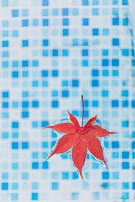 High angle view of maple leaf floating in swimming pool, USA - p300m2144501 by Michael Malorny