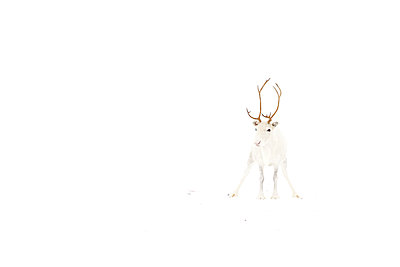 Caribou  with white coat in snow, Abisko, Sweden - p884m1143147 by Jasper Doest