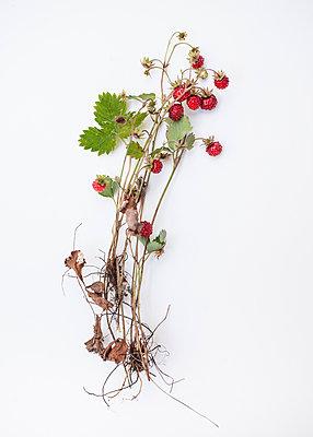 Wild strawberries - p971m1048216 by Reilika Landen