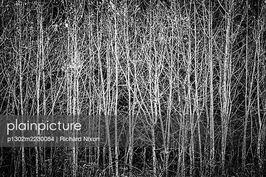 A black and white photograph of poplar trees in autumn. - p1302m2230084 by Richard Nixon