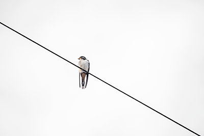 A single Swallow perched on a phone line - p1302m2151569 by Richard Nixon