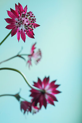Great masterwort, Astrantia major - p427m2111465 by Ralf Mohr