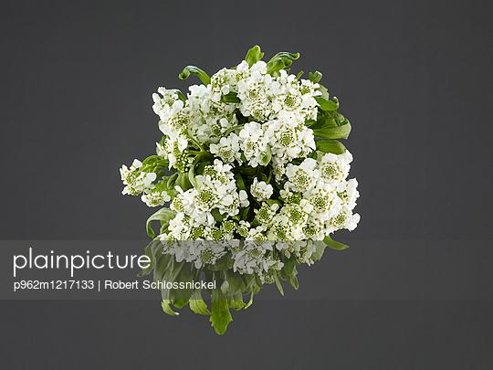 Schleifenblumen - p962m1217133 von Robert Schlossnickel