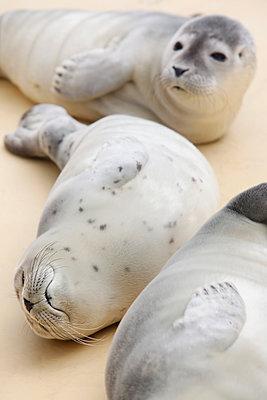 Junge Seehunde - p1221m1124892 von Frank Lothar Lange