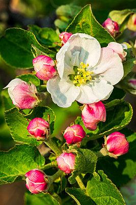 Close-up of apple blossoms on a tree; Calgary, Alberta, Canada - p442m2176969 by Michael Interisano