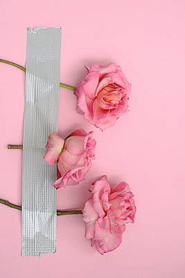 Roses taped on a wall  - p450m1573463 by Hanka Steidle