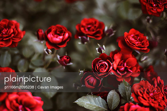 Roses in a garden at sunset. - p1166m2095238 by Cavan Images