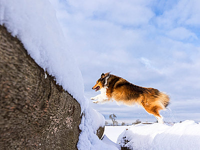 Germany, Shetland Sheepdog jumping over tree trunk with snow - p300m998331f by Stefan Schurr