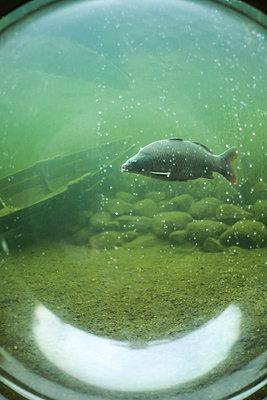 Single fish seen through porthole - p1643m2229389 by janice mersiovsky