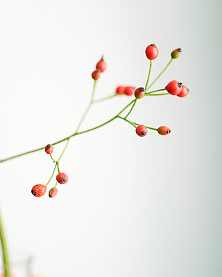 Rose hips against white background - p1190m2289001 by Sarah Eick