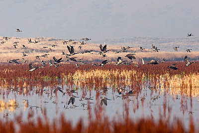 Canada Geese (Branta canadensis) take flight over shallow marsh waters in northern California's Tule Lake National Wildlife Refuge during the fall migration along the Pacific Flyway. - p343m1202521 by Mike Kane