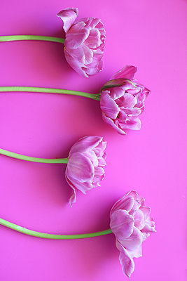 Four tulips on pink background - p450m1563394 by Hanka Steidle