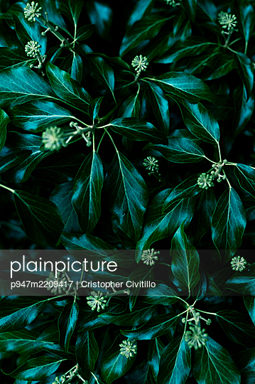Dark green leaves, close-up - p947m2209417 by Cristopher Civitillo