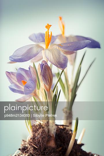 Krokusblüte mit Zwiebel, Wurzeln und Erde - p948m2134083 von Sibylle Pietrek