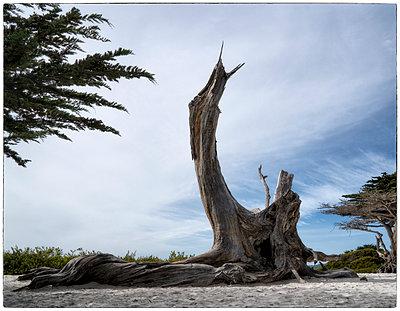Beach Cypress - p1154m1138966 by Tom Hogan