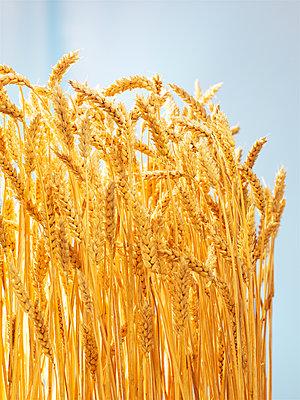 Grain, corn ears, close-up - p851m2289555 by Lohfink