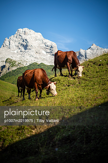 France, Cows on alpine meadow - p1007m2219975 by Tilby Vattard