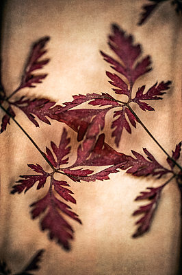 Abstract kaleidoscope pattern of close-up of herb robert leaves - p1047m2184941 by Sally Mundy