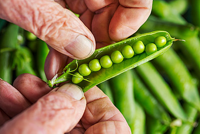 A man opening a peapod to see the fresh peas growing inside it  - p1100m1178029 by Mint Images