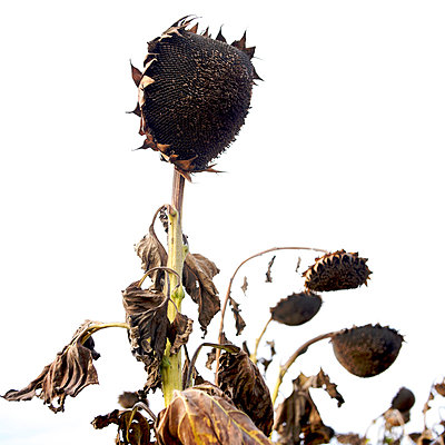 Sunflowers dried out - p813m883239 by B.Jaubert