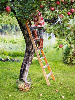 Girl on ladder picking apples, Varmdo, Uppland, Sweden - p312m897194 by Johner