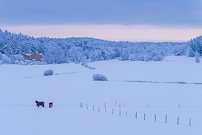 Horses in snowy field - p352m2120159 by Mikael Ackelman