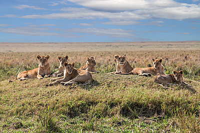 Kenya, Masai Mara, Narok County. A pride of lions rests on a mound overlooking the plains of Masai Mara National Reserve. - p652m941634 by Nigel Pavitt