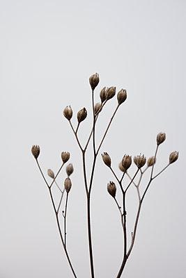pflanzenkelche_vertrocknet - p876m1207394 von ganguin