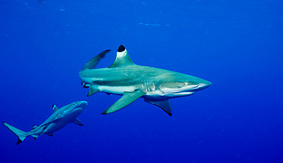 Aggression in Blacktip shark. - p9249354f by Image Source