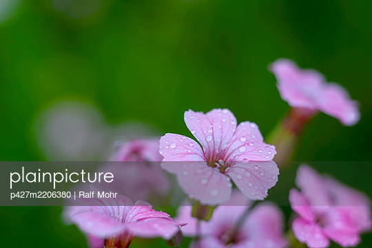 Pink coloured flowers - p427m2206380 by Ralf Mohr