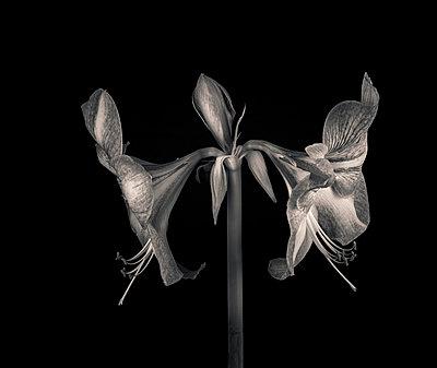Amaryllis-Blüten - p1088m937895 von Martin Benner