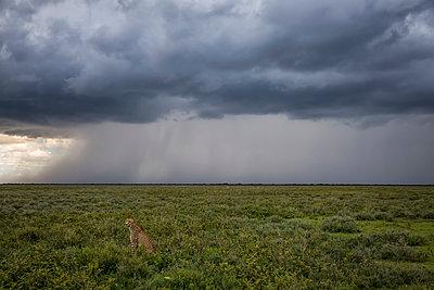 Cheetah (Acinonyx jubatus) sitting in the grass while a storm rages in the distance; Ndutu, Tanzania - p442m2004116 by Robert Postma