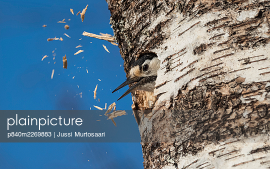 White-backed woodpecker (Dendrocopos leucotos), female excavating nest in birch tree, expelling  wood chips from hole,   Finland, April. - p840m2269883 by Jussi Murtosaari
