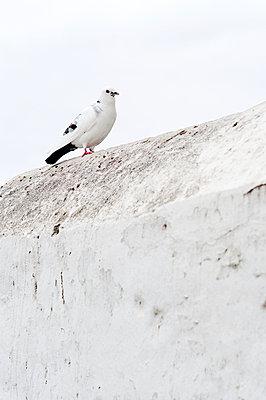 White dove - p177m953067 by Kirsten Nijhof