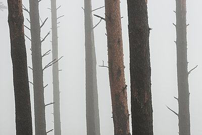 Trees in mist - p312m974956f by Mikael Svensson