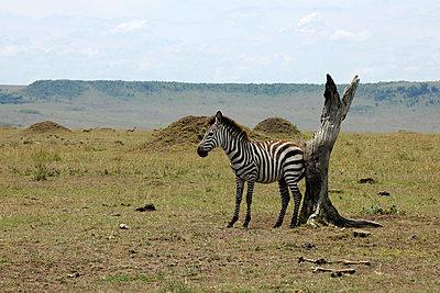 Lonely zebra - p5330232 by Böhm Monika