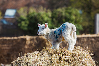 Newborn lamb standing on a bale of straw. - p1100m1450942 by Mint Images