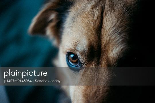 Hund schaut in Kamera bei mystischem, dunklen Licht - p1497m2145064 von Sascha Jacoby