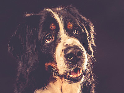 Bernese mountain dog - p299m1138428 by Silke Heyer